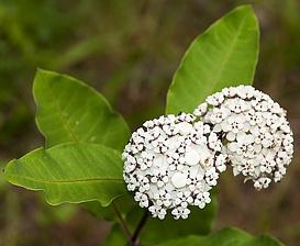 Asclepias variegata