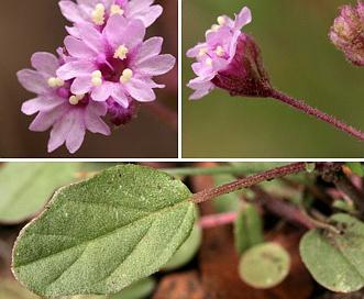 Boerhavia purpurascens