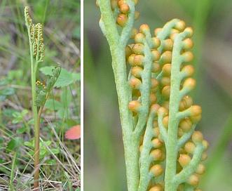 Botrychium pedunculosum