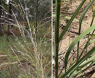 Calamovilfa longifolia