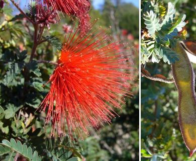 Calliandra californica
