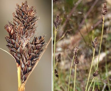Carex albonigra