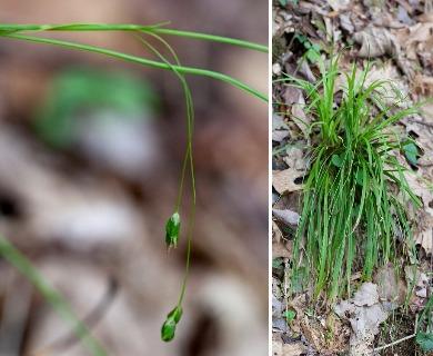 Carex austrocaroliniana