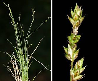 Carex brunnescens