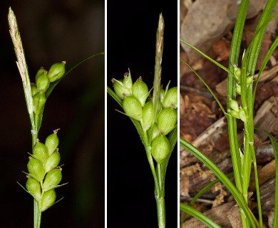 Carex bulbostylis