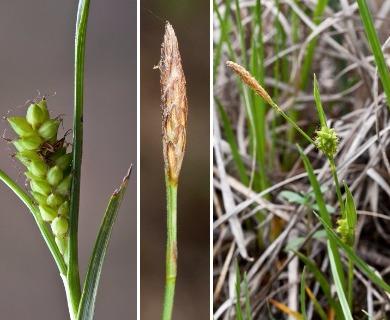 Carex crawei