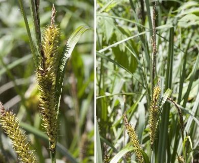 Carex hyalinolepis