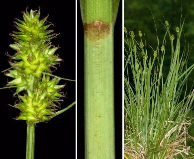 Carex mesochorea