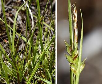 Carex rossii