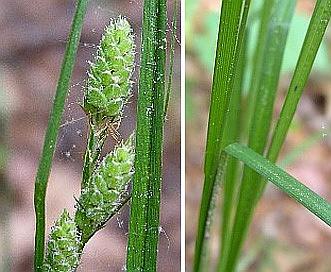 Carex swanii