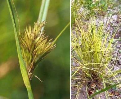 Carex sychnocephala