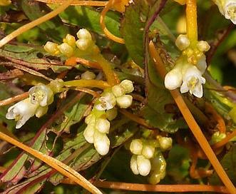 Cuscuta polygonorum