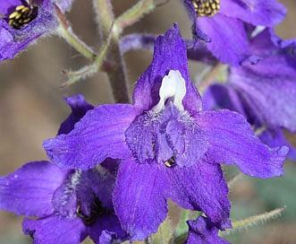 Delphinium menziesii