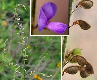 Desmodium sessilifolium