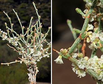 Eriogonum palmerianum