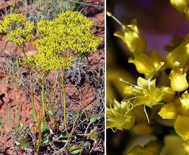 Eriogonum thompsoniae