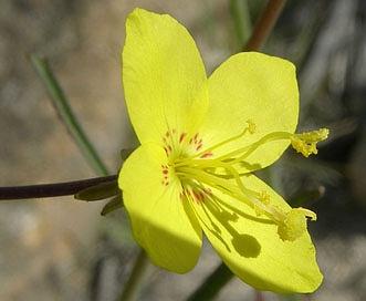 Eulobus californicus