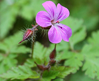 Geranium robertianum