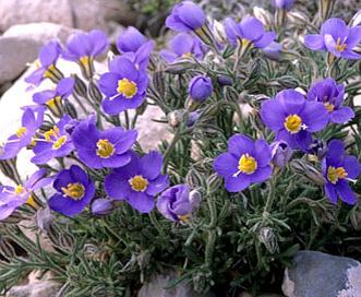 Giliastrum acerosum