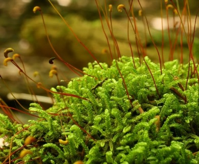 Hypnum curvifolium