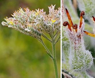 Lachnanthes caroliniana
