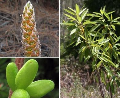 Leitneria floridana
