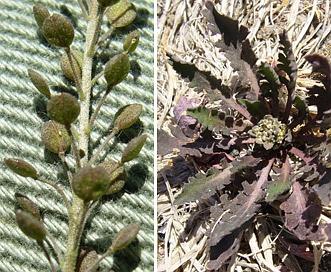Lepidium pinnatifidum