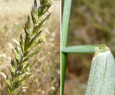 Leymus triticoides