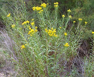 Lorandersonia linifolia