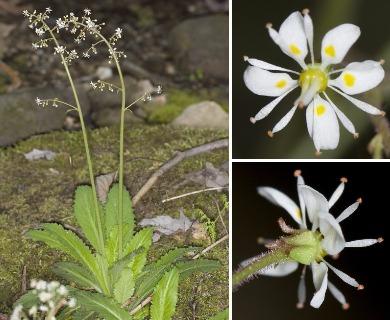 Micranthes micranthidifolia