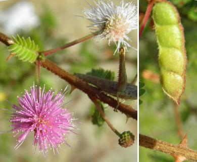 Mimosa tricephala