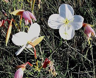 Oenothera nuttallii