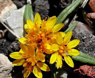 Pectis angustifolia