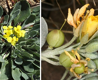 Physaria fendleri