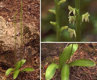Piperia unalascensis