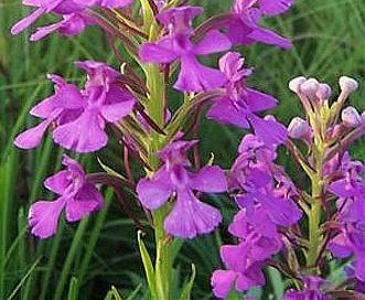Platanthera peramoena