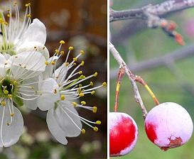 Prunus mexicana