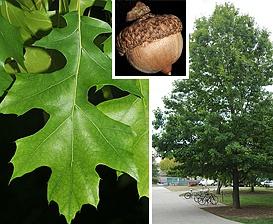 Quercus shumardii