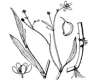 Ranunculus ambigens