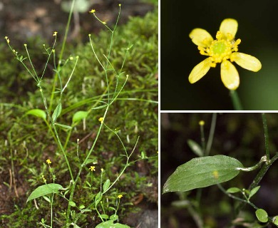Ranunculus laxicaulis