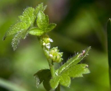 Ranunculus platensis