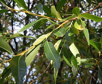 Salix lasiandra