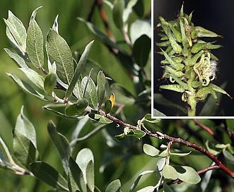 Salix orestera