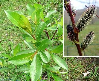 Salix pyrifolia