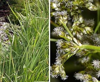 Scirpus microcarpus