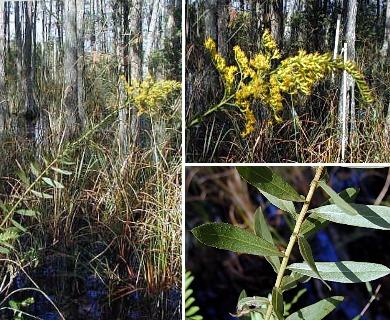 Solidago latissimifolia