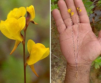 Utricularia juncea
