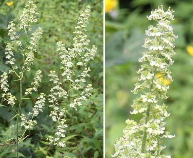 Veratrum hybridum