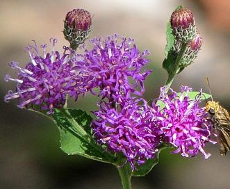 Vernonia baldwinii