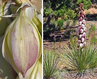 Yucca baileyi